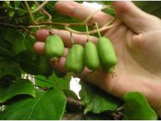 kiwi – dvoudomý kultivar