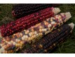 """Wade's Giant Indian Flint Corn"""