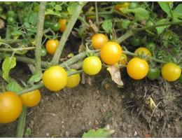 """""""rajče divoké žluté (Pidi z Francie)"""""""