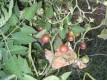 'Black Cherry'