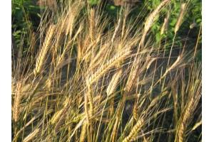 Pšenice jednozrnka