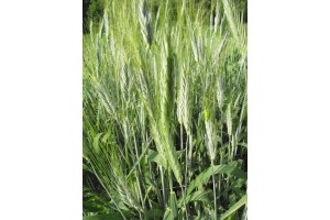 Pšenice polská