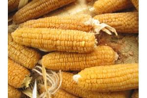Kukuřice cukrová