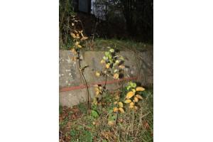 Kdouloň obecná – plody hruškovité